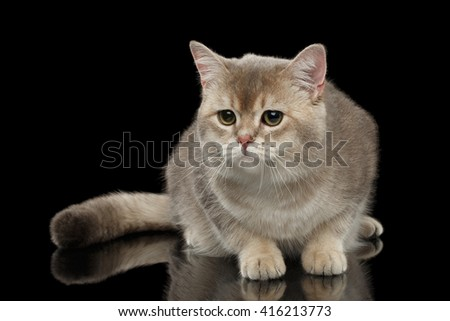 Sad British Cat with a Fluffy tail Looking forward isolated on Black Background - stock photo