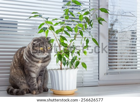 Sad cat on the windowsill. She is bored. The cat sits on a windowsill next to the flower. The cat is breed scottish fold. - stock photo