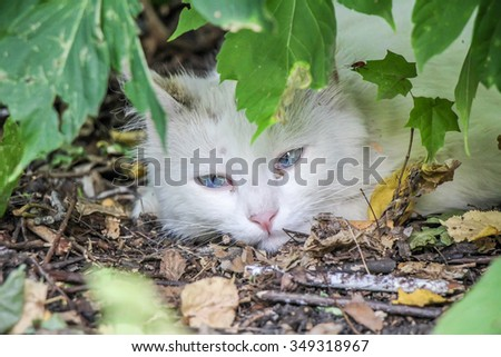 sad cat with unusual magically beautiful blue eyes, summer, outdoor - stock photo