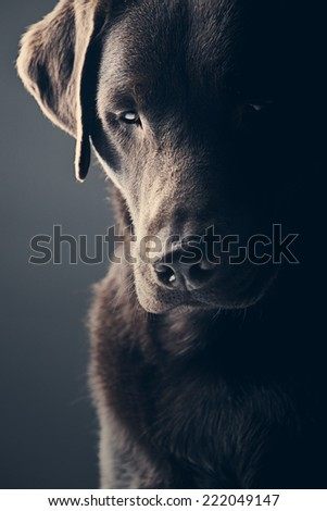 Sad Chocolate Labrador - stock photo