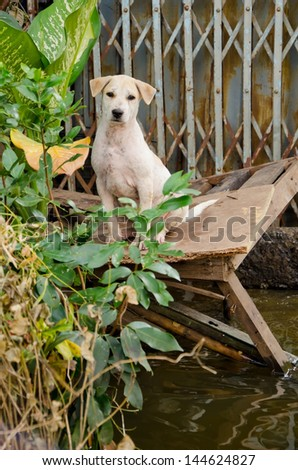 Sad dog escape from the worst flooding in Thailand - stock photo