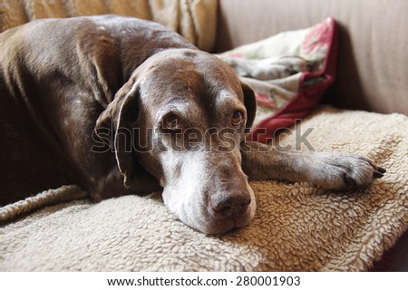 Sad dog. German Short-haired Pointer - stock photo