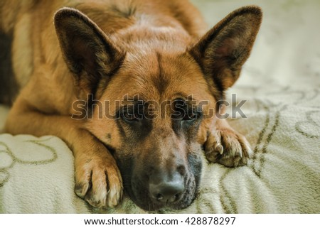 sad dog missing his owner, german shepherd dog - stock photo