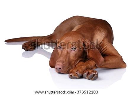 Sad dog on a white background, puppy Vizsla - stock photo