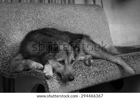 Sad dog on the chair waiting for the boss, White-Black. - stock photo