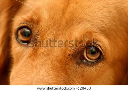 Sad eyes of a golden retriever - stock photo
