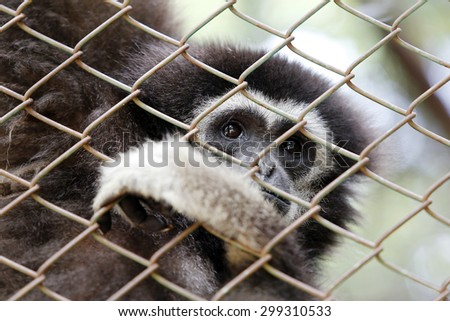 Sad Gibbon behind the cage - stock photo