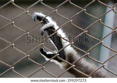 Sad Gibbon hands behind the cage - stock photo