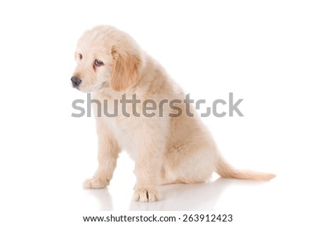 Sad Golden Retriever puppy looking down curiously - stock photo