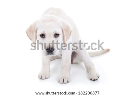 Sad Labrador puppy dog isolated - stock photo