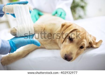Sad labrator with broken leg at vet surgery - stock photo