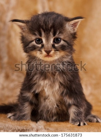 Sad little kitten sits over dirty mustard color background - stock photo