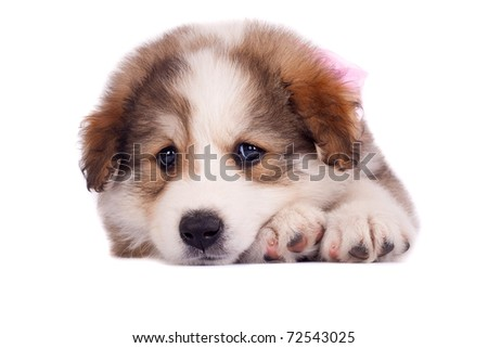 sad looking little bucovinean shepard puppy, on a white background - stock photo