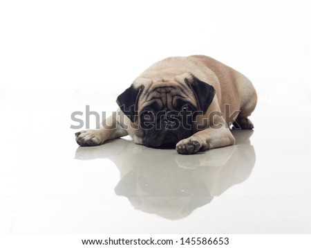 sad pug on the floor can illustrate sadness love sick romance missing other - stock photo