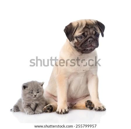 Sad pug puppy with sleeping scottish kitten. isolated on white background - stock photo