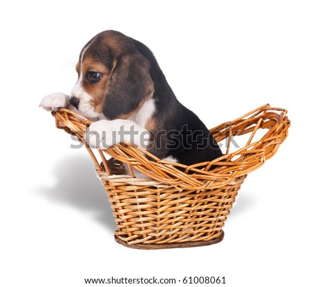 Sad puppy beagle sits in a wicker basket - stock photo