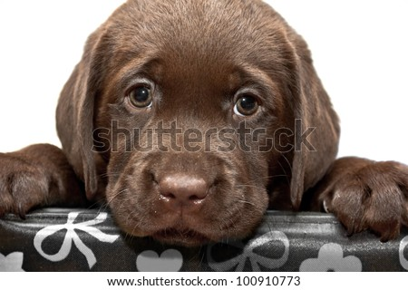 Sad puppy looks out of the box. Brown labored's puppy with sad eyes looks out of the box - stock photo