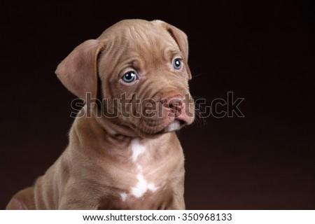 Sad puppy portrait - stock photo