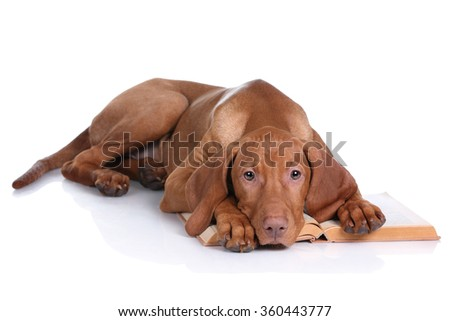 Sad Puppy Vizsla with a book on a white background - stock photo