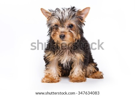 Sad Puppy Yorkshire terrier looking down (isolated on white) - stock photo