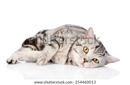 Sad scottish cat looking at camera. isolated on white background - stock photo