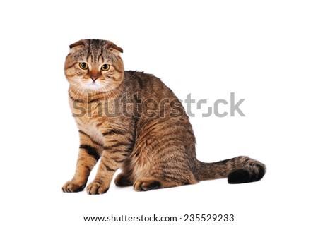 Sad scottish fold cat portrait isolated on white - stock photo