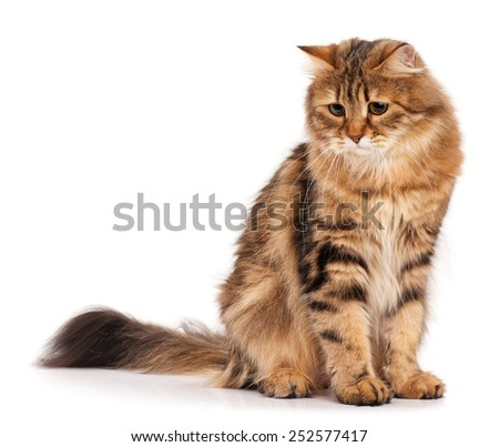 Sad siberian beautiful adult cat over white background - stock photo