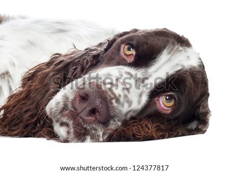 sad springer spaniel dog portrait - stock photo