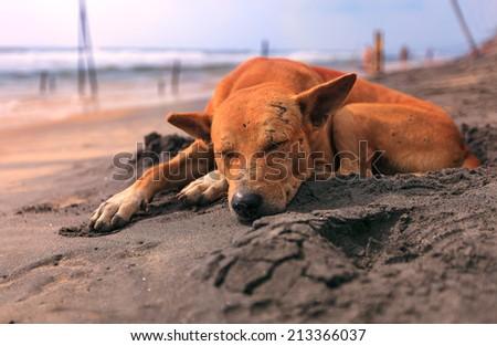 Sad stray dog sleeping on Indian beach - stock photo