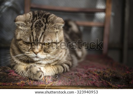 sad striped Scottish Fold cat lying on the balcony on an old torn chair - stock photo