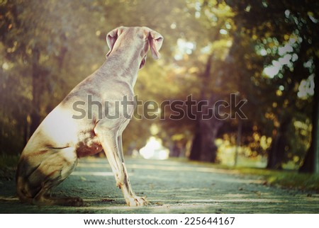 sad weimaraner dog puppy waiting in autumn nature - stock photo