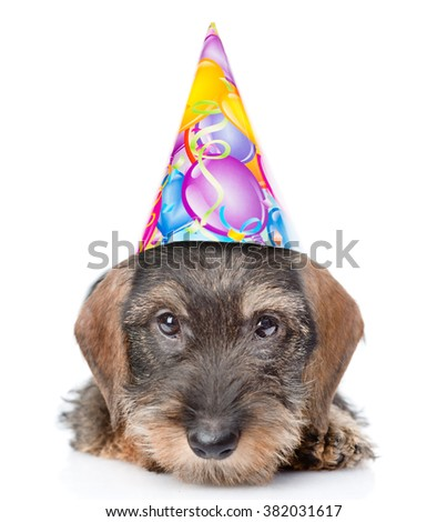 Sad wire-haired dachshund puppy in birthday hat. isolated on white background - stock photo