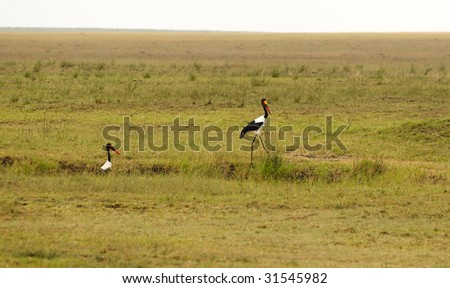Saddle-billed Stork in African national park - stock photo