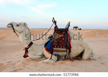 Saddled bedouin camel sitting down in desert - stock photo