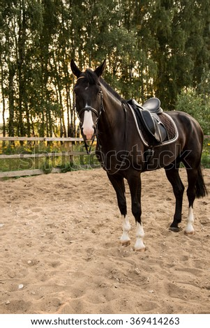 saddled horse stands on the sand in the paddock at sunset. Russia - stock photo
