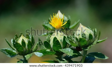 Safflower has begun to bloom in vivid color - stock photo