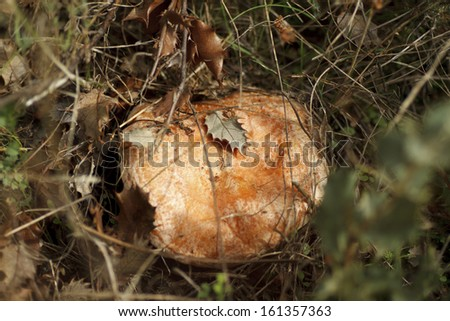 Saffron Milk Cap on the ground in the forest - stock photo