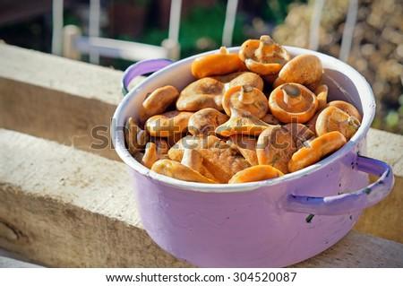 Saffron milk caps in small pannikin, selective focus - stock photo