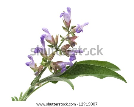 Sage (lat. Salvia officinalis) flower and leafs isolated on white - stock photo
