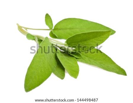 Sage sprig isolated on white - stock photo