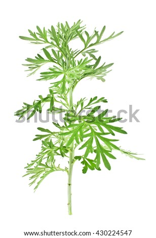 Sagebrush twig isolated on white background - stock photo