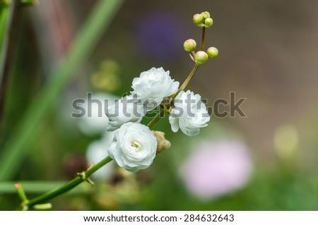 Sagittaria sagittifolia 'Flore Pleno' - stock photo