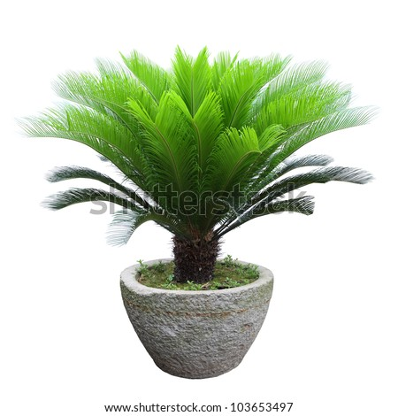 sago cycad tree in a stone mortar isolated on white - stock photo
