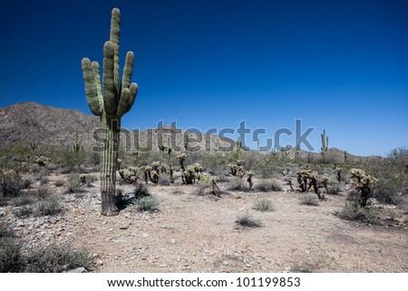Saguaro and Joshua Tree cactuses in the Arizona Desert - stock photo