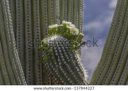 Saguaro Cactus in Tucson, Arizona - stock photo