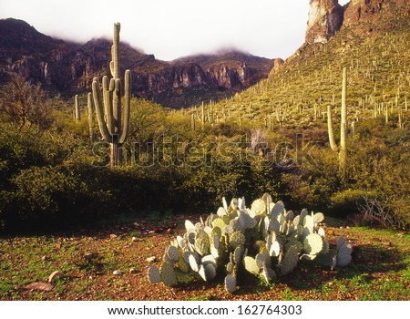 Saguaro Cactus, the largest cactus in the world grow to be about fifty feet high and can hold a ton of water in its trunk./saguaro/ The lost Goldmine trail in the Superstition Area Land Trust Arizona. - stock photo