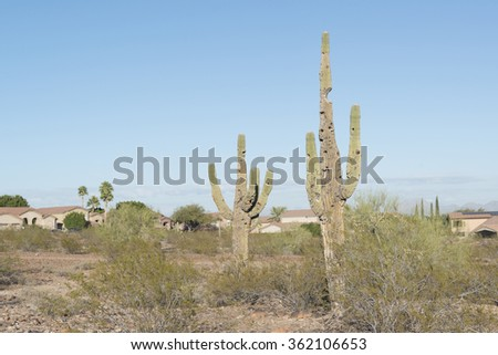 Saguaros cactus near town - stock photo