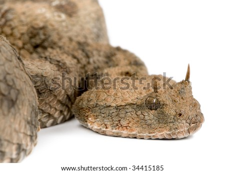 Horned Viper Drawing Saharan Horned Viper