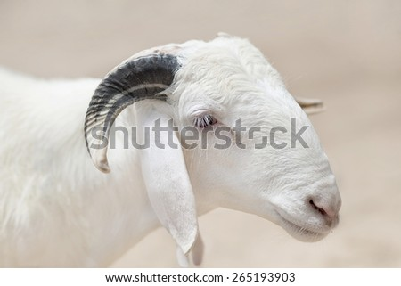 Sahelian Ram with a white coat - stock photo