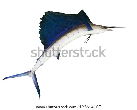 sailfish flying midair isolated white background use for marine ,sea ocean life topic and multipurpose - stock photo